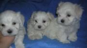 Satılık Tea Cup Maltese Terrier