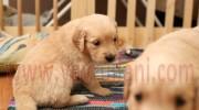 Satılık Golden Yavruları Videosu