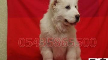 Satılık Alabay Köpekleri