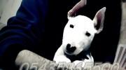 Satılık Bull Terrier Yavru