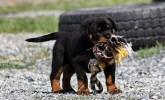 Safkan Rottweiler Yavrularımız
