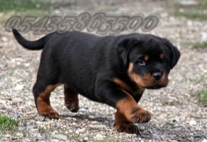 İstanbul da Satılık Rottweiler Yavruları
