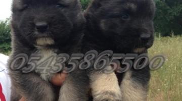 Kafkas Çoban Köpeği Fiyatları
