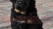 Satılık Tibetan Mastiff Yavruları