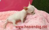 Safkan Chihuahua yavruları