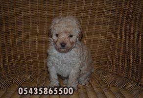 Satılık poodle minyatür kaniş fiyatları