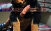 Safkan Rottweiler Yavruları