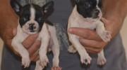 Fransız French Bulldog Yavruları