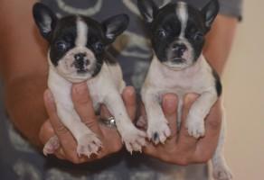 Safkan Fransız Bulldog Yavruları
