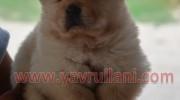 Beyaz chow chow yavruları