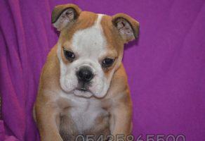 Yavru Bulldog Fiyatları araştırma
