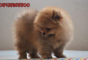 Evraklı Pomeranian Boo Yavrusu