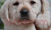 Beyaz Labrador Retriever Yavrusu
