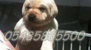 labrador retriever köpek ilanı
