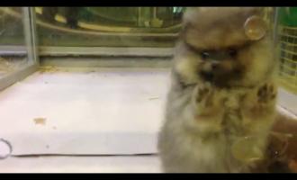 Safkan Pomeranian Boo Dog