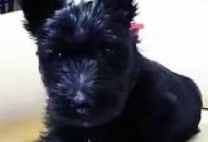 Satılık İskoç Terrier Yavruları