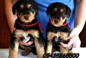 Satılık Airedale Terrier Yavruları