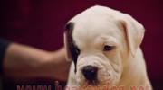 Satılık Amerikan Bulldog Yavruları