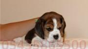 Safkan Elizabeth Beagle Yavruları