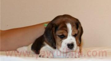 Satılık Beagle Yavruları  Video izle