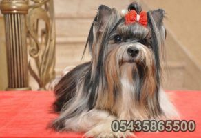 Safkan Biwer Yorkshire Terrier