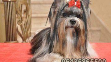 Safkan Biwer Yorkshire Terrier