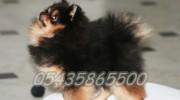 Üç Renk Pomeranian Boo Satılık