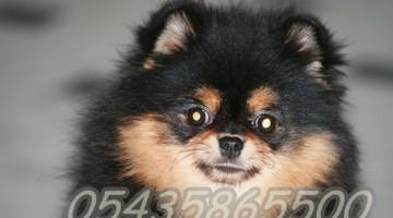 Satılık Pomeranian Boo Yavruları