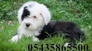 Satılık Bobtail Köpek Yavrusu