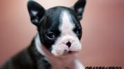 Satılık Boston Terrier