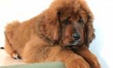 Satılık Kızıl Tibet Mastifi