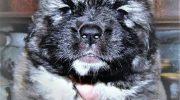 Sahibinden Kafkas Çoban Köpeği