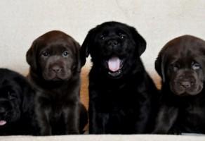 Chocolate Labrador Yavruları