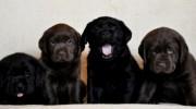 İstanbul da Satılık Labrador Yavruları