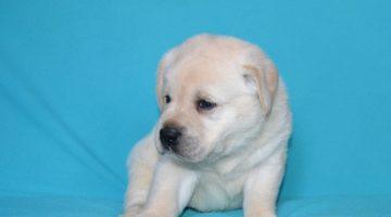 Beyaz Labrador Yavruları
