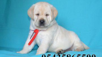 Safkan Labrador Nasıl Anlaşılır