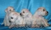 Satılık Beyaz Schnauzer Yavruları