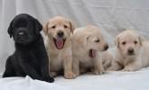 Safkan Labrador Retriever Yavruları
