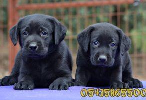Siyah Labrador Yavruları