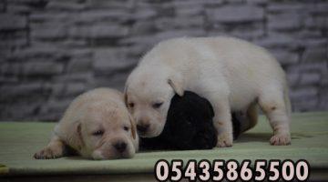 Beyaz Labrador Yavruları 05435865500