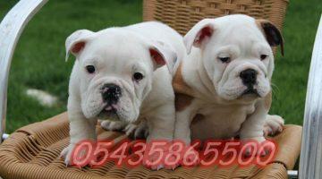 İngiliz bulldog yavru fiyatları
