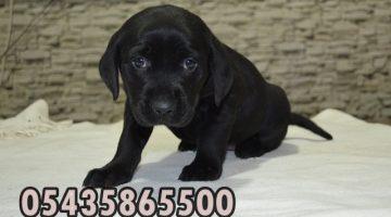 Yavru Siyah Labrador Retriever