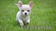 Satılık Chihuahua Şivava fiyatları yavrusu resmi