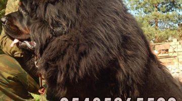 tibet mastiff yavru fiyatları