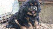 Satılık Tibet Mastifi ilanı