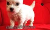 Satılık Beyaz White Terrier Yavruları
