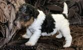 Satılık wire fox Terrier Yavruları