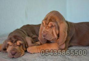 Satılık Bloodhound Yavruları