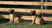 satılık bull mastiff yavruları