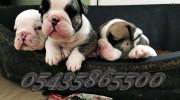English Bulldog Satılık